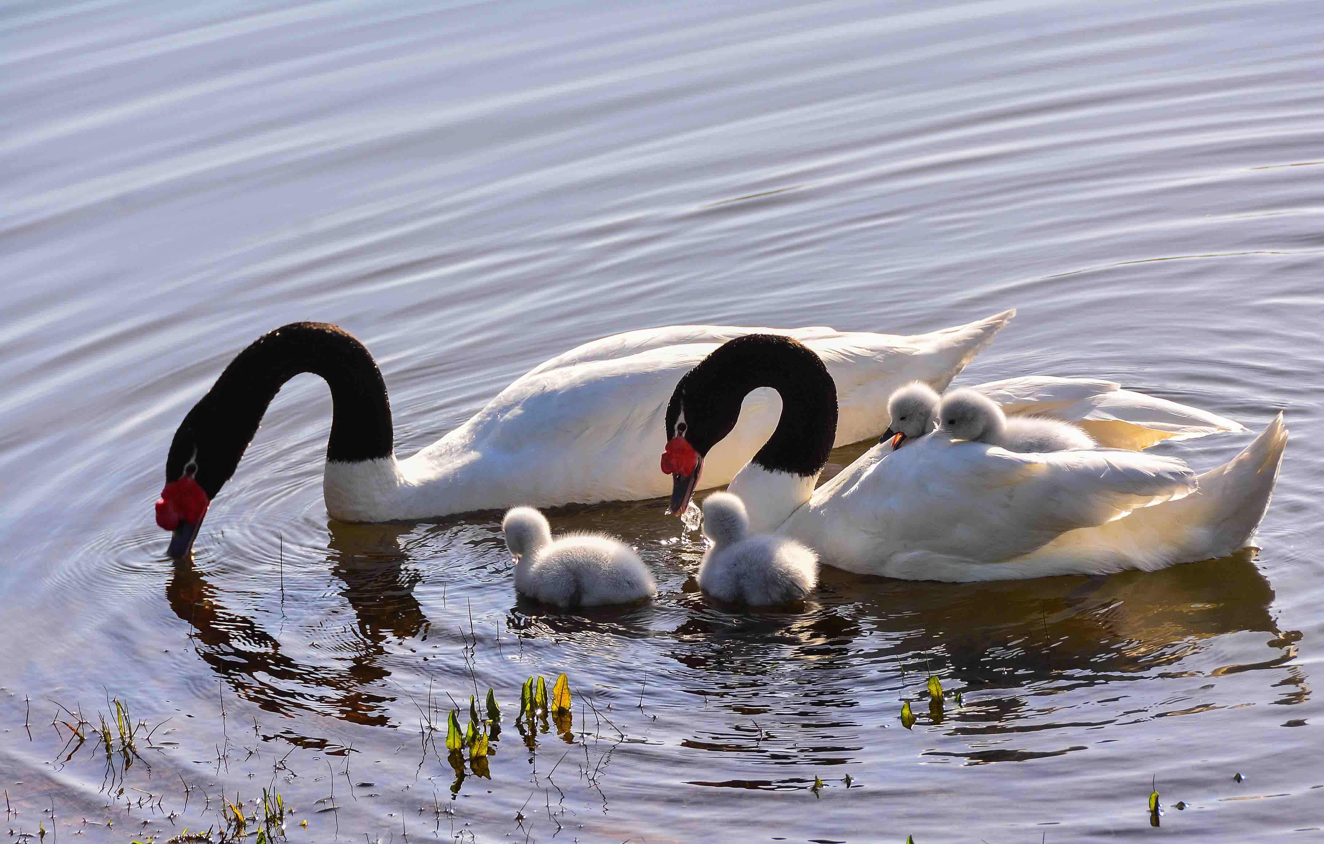 Protección extrema para cisnes de cuello negro nacidos en Concepción