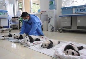aparicion-publica-oseznos-panda-yaan-china-14