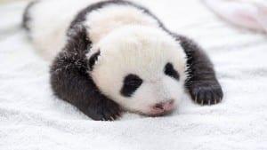 aparicion-publica-oseznos-panda-yaan-china-6