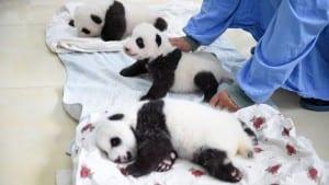 aparicion-publica-oseznos-panda-yaan-china-9