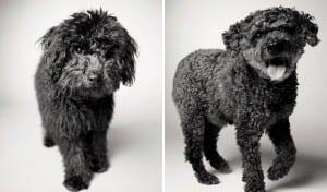 libro-retratos-perros-envejeciendo-amanda-jones-11