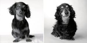 libro-retratos-perros-envejeciendo-amanda-jones-4