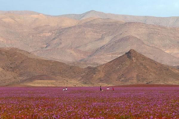 florecimiento-desierto-atacama-chile-6