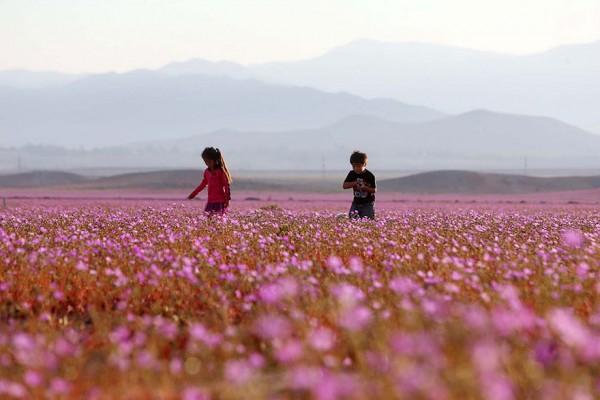 florecimiento-desierto-atacama-chile-7