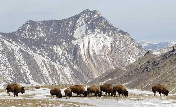 bisontes23