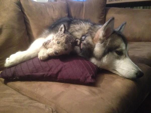 peluche-favorito-perro-malamute-luca-karissa-lerch-2