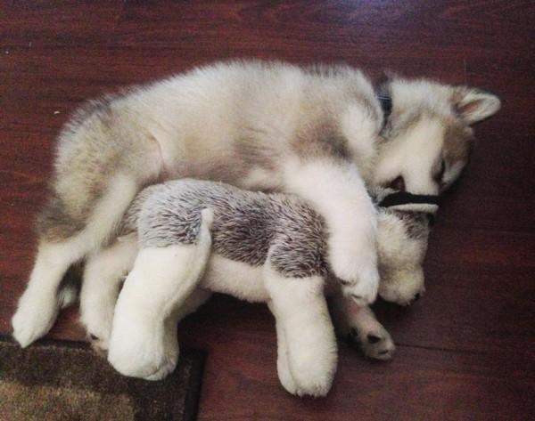 peluche-favorito-perro-malamute-luca-karissa-lerch-4