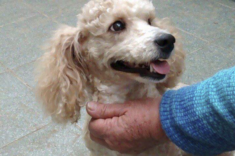 "Adopta: ""Simona"" una linda perrita mestiza Poodle-Cocker de 1 año aproximado"