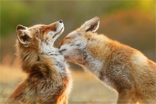 fotos-zorros-amorosos-roeselien-raimond-10