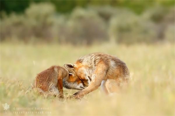fotos-zorros-amorosos-roeselien-raimond-11