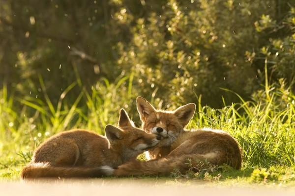 fotos-zorros-amorosos-roeselien-raimond-7