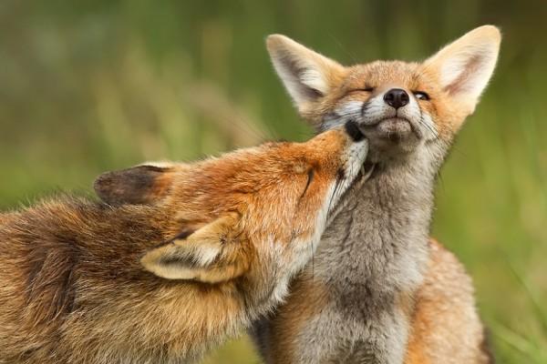 fotos-zorros-amorosos-roeselien-raimond-8