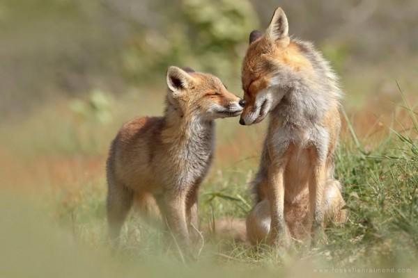 fotos-zorros-amorosos-roeselien-raimond-9