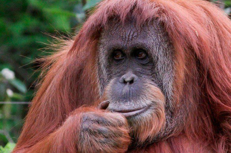 """Justicia argentina declara a orangutana como """"sujeto no humano"""" y podrá ser liberada"""