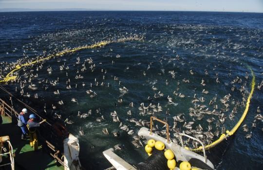 """Pesqueros denuncian: """"En Argentina multan a empresa chilena por pesca ilegal, en cambio en Chile Súnico mira al cielo"""""""