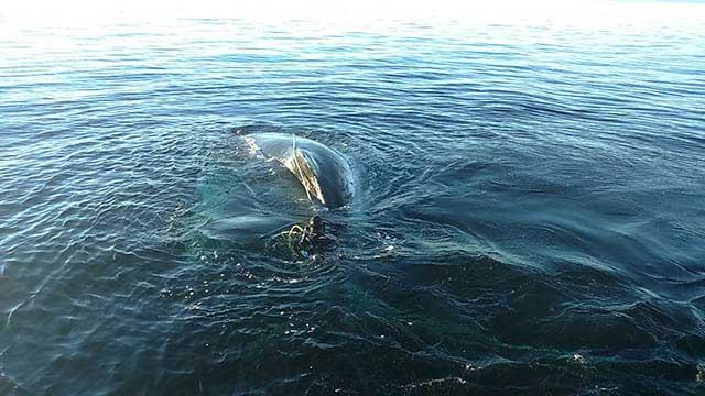 Armada rescata a ballena Jorobada inmobilizada por redes de pesca en Canal Beagle