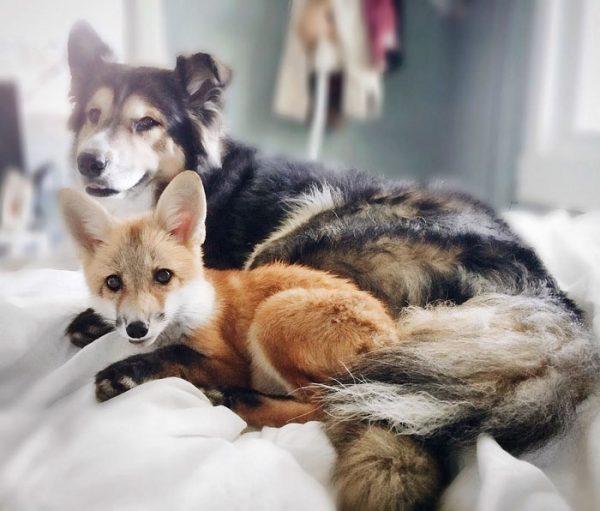 amistad-zorro-juniper-perro-moose-1