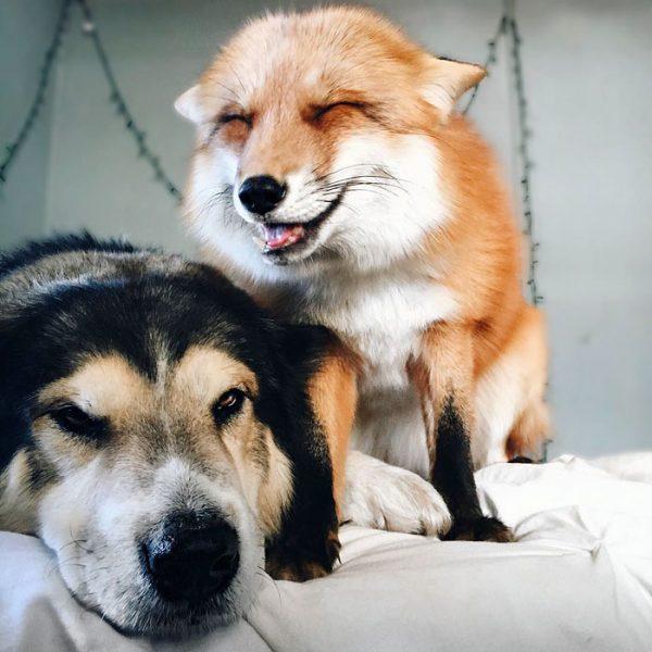 amistad-zorro-juniper-perro-moose-2