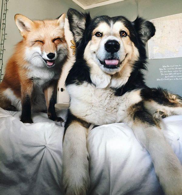 amistad-zorro-juniper-perro-moose-4