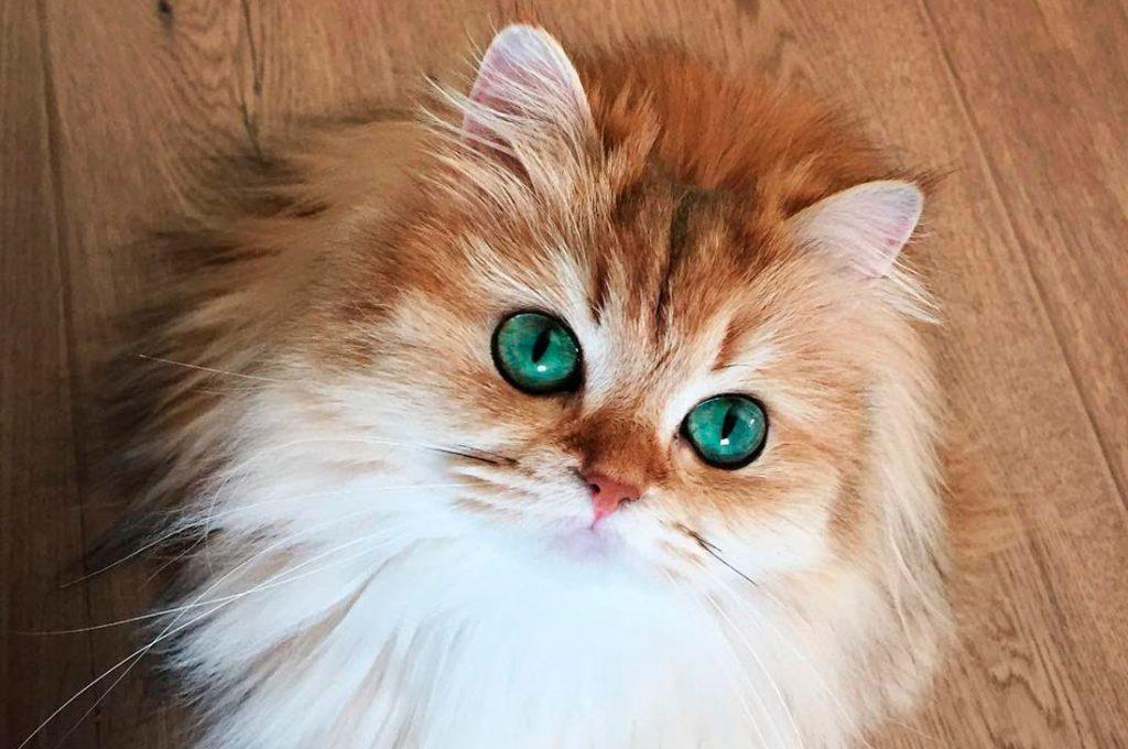 En Midmall Maipú elegirán al gato más lindo