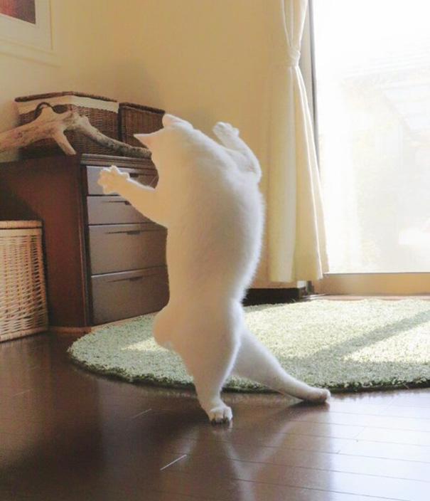 gato-bailarin-japon-1
