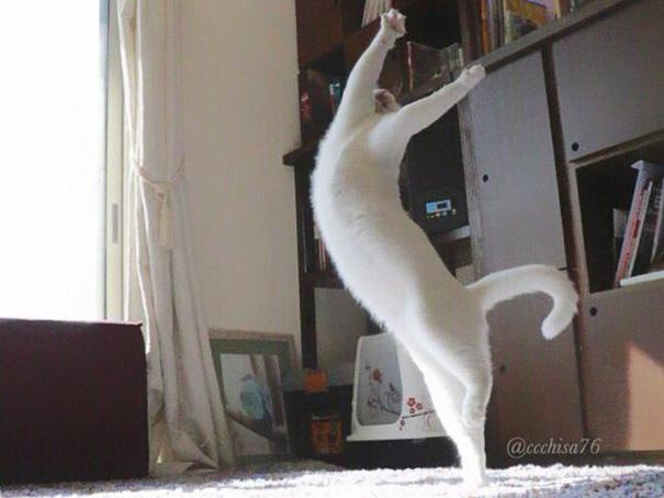gato-bailarin-japon-2