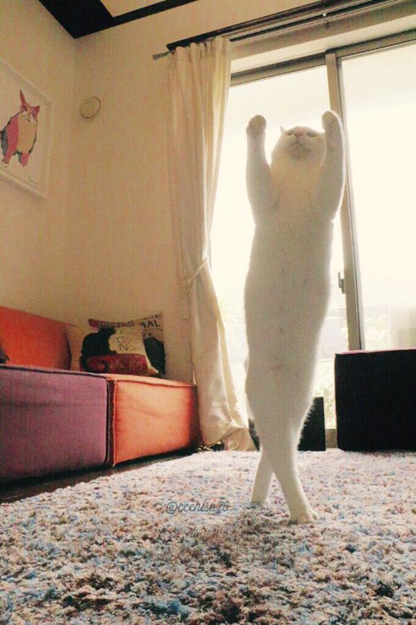 gato-bailarin-japon-4