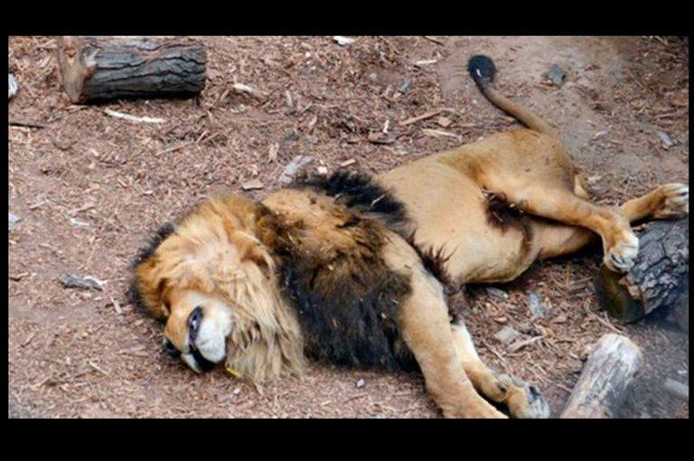 Medios extranjeros destacan la muerte de leones del Zoológico Metropolitano