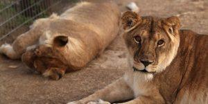 leones zoostgo