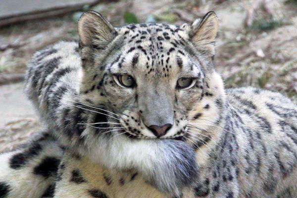leopardos-nieves-mordiendose-cola-3
