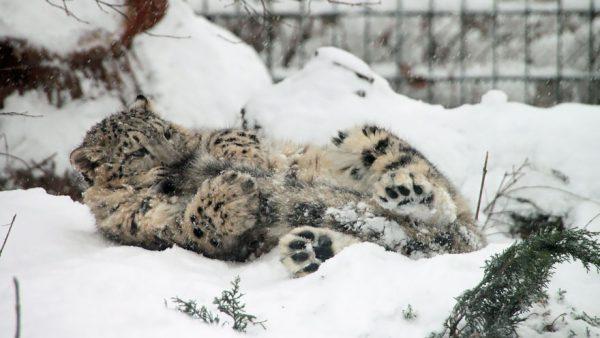 leopardos-nieves-mordiendose-cola-5