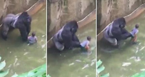 nino-4-anos-cae-recinto-gorila-zoo-estados-unidos