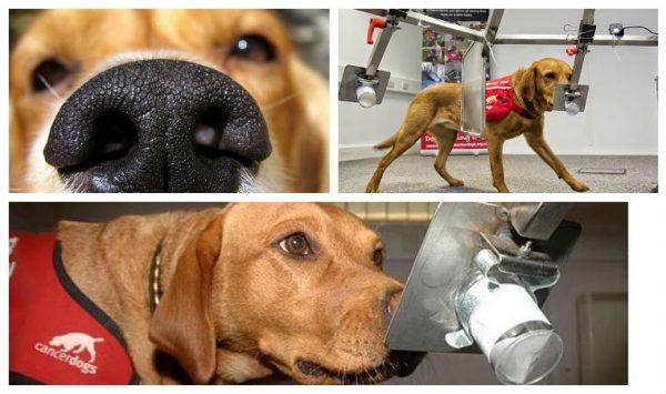 Perros-pueden-detectar-Cancer