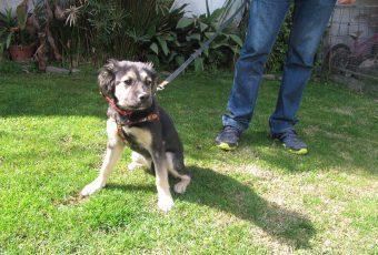 Adopta: Tzuka, una hermosa cachorrita de aprox 4 1/2 meses de edad