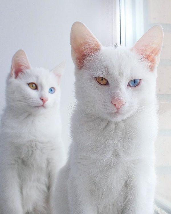 gatos-gemelos-ojos-heterocromaticos-iriss-abyss-1