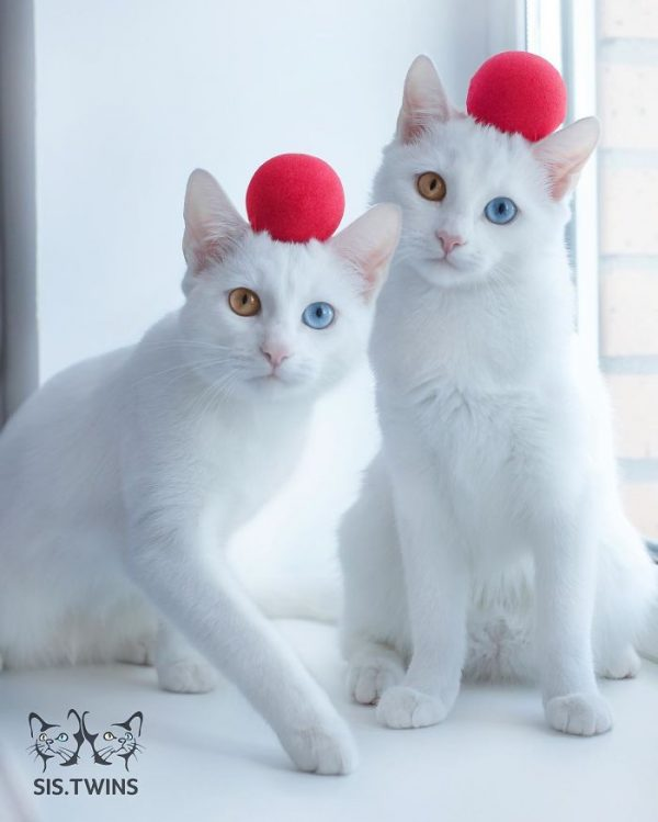 gatos-gemelos-ojos-heterocromaticos-iriss-abyss-10