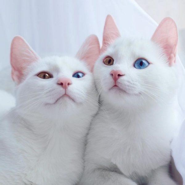 gatos-gemelos-ojos-heterocromaticos-iriss-abyss-2