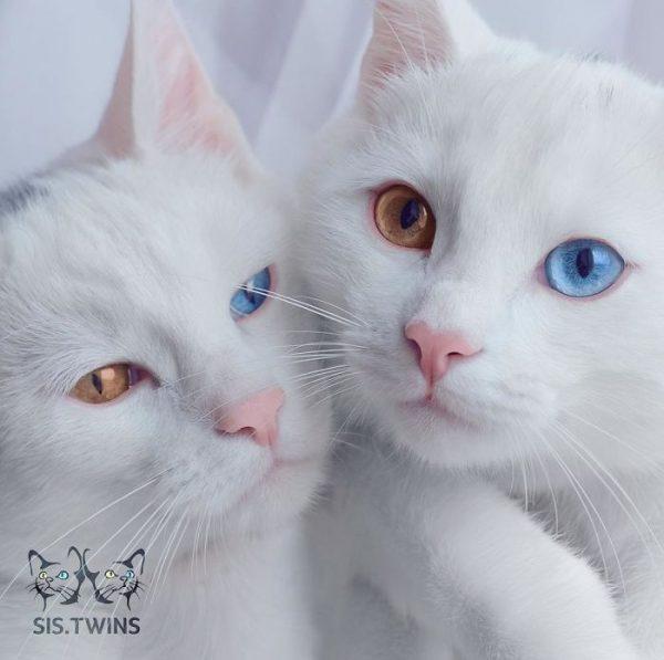 gatos-gemelos-ojos-heterocromaticos-iriss-abyss-3