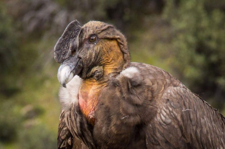 La majestuosa fotografía de un cóndor captada por un chileno
