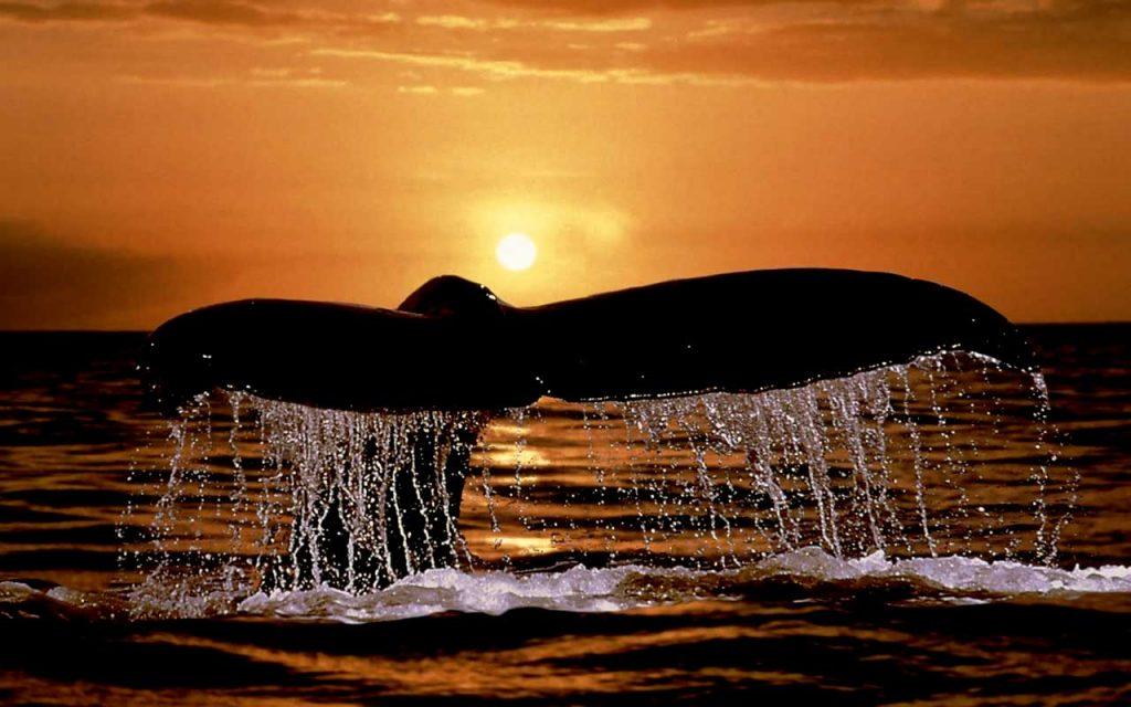 Lamentable: Ballenas no tendrán santuario en el Atlántico Sur