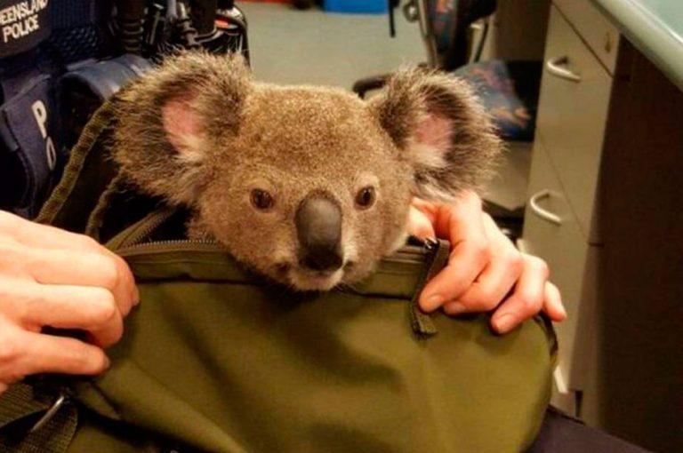 Policía australiana halla un koala bebé dentro de una mochila durante un control