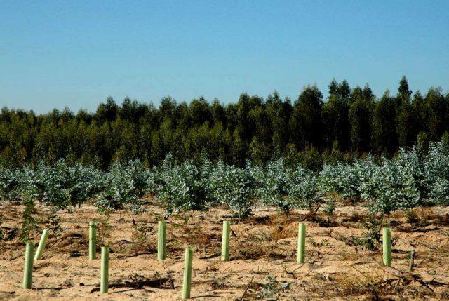 La FAO advirtió en 1987 los riesgos de las plantaciones de eucaliptos