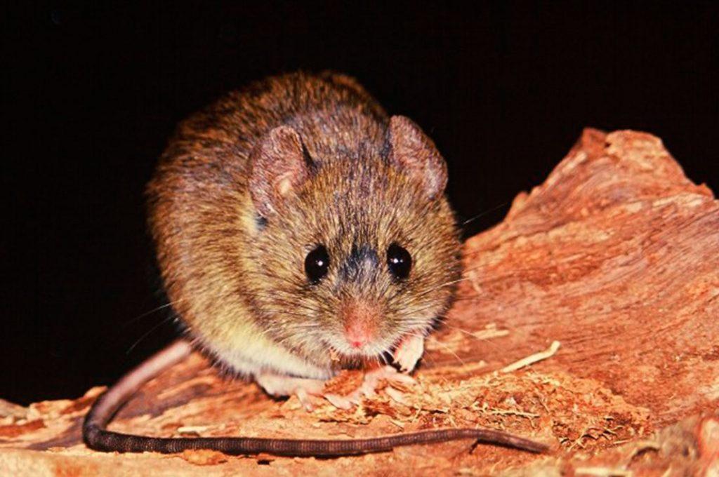 Cómo detectar al particular roedor que contagia el mortal virus Hanta