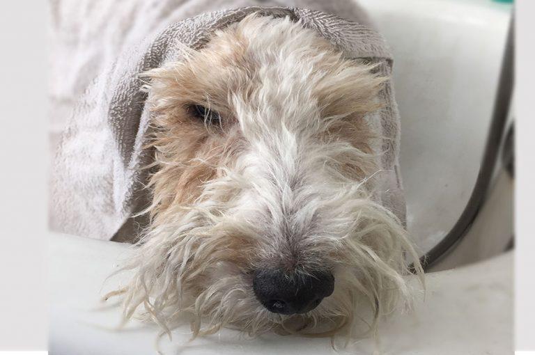 ¿Qué tan seguido debo bañar a mi perro?