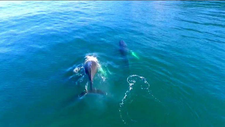 (VIDEO) El hermoso espectáculo de ballenas jorobadas en el canal Beagle captado por un Dron de la Armada