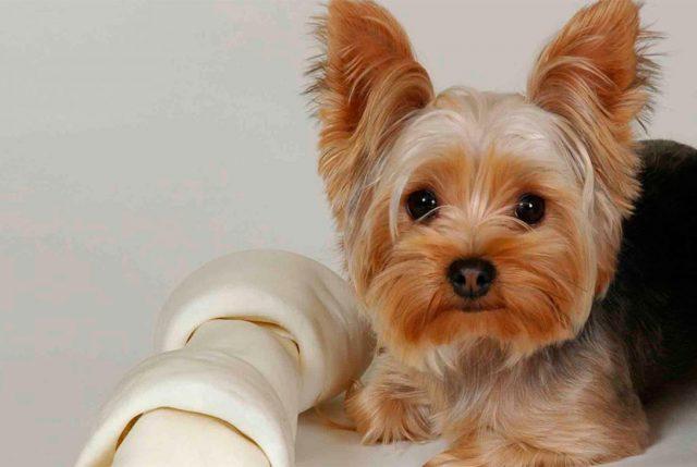 Las enfermedades más comunes en perros de raza pequeña