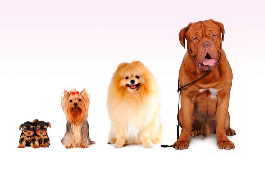 Perros también presentan cálculos en vías urinarias