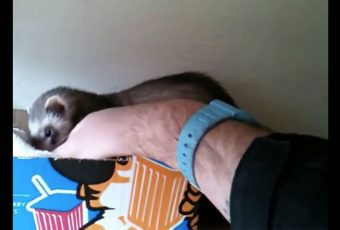 Esta madre hurón está decidida a enseñarle sus crías a su humano