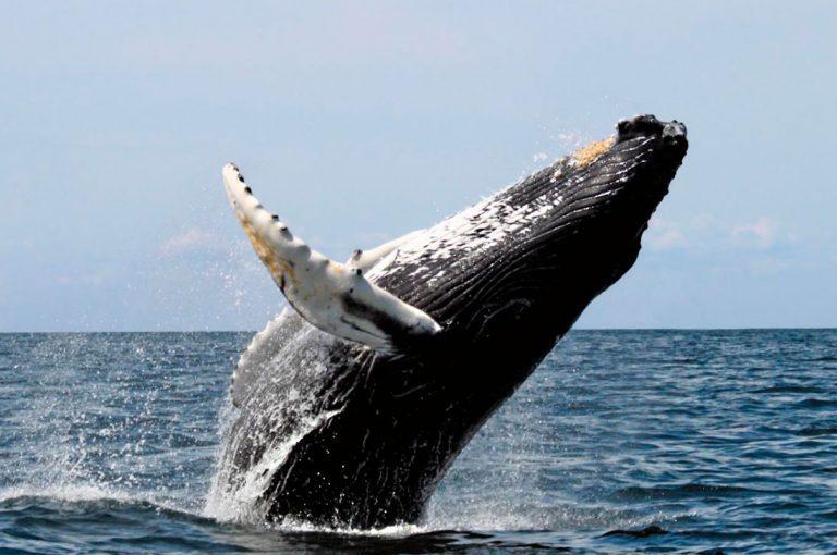 Esta increíble ballena de 40 toneladas saltando del agua se ha vuelto viral