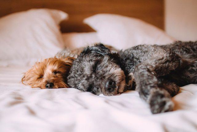 Las mejores razas de perros para un adulto mayor